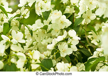 Jasmine flower growing on the bush in garden, floral...