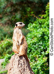 Meerkat suricata watching predators