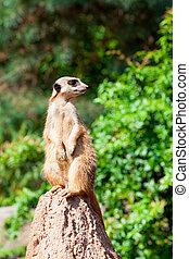 Meerkat suricata watching predators