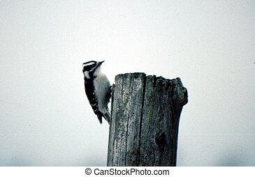 peludo, pájaro carpintero, G-1897