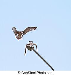juvenile gulls fighting - juvenile gulls larus argentatus...