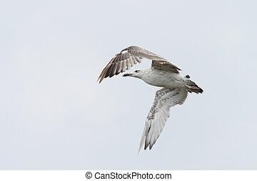 juvenile larus argentatus - juvenile gull ( larus argentatus...