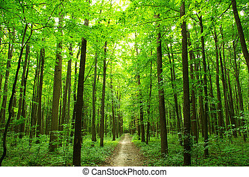 green forest - a path is in the green forest