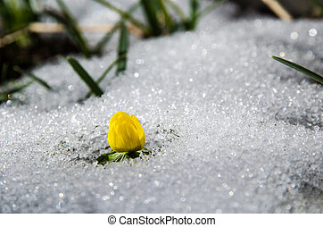 Early yellow flower - Winter aconite  at melting snow.