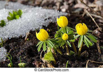 Early garden flowers - Early Winter aconite in a garden at...