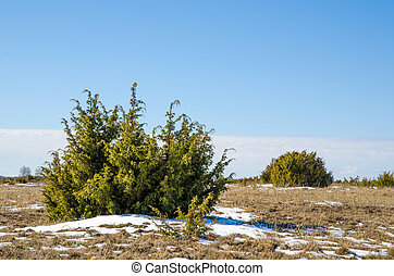 Juniperus bushes at the Great Alvar Plain located on the...