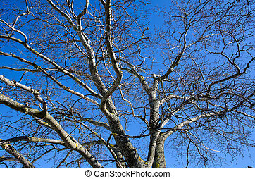 Wych Elm tree - Bare wych elm tree branches at a clear blue...
