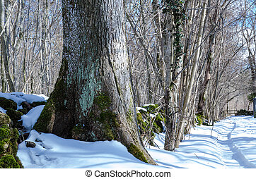 Winter tree trunk - Tree trunk, European White Elm, with its...
