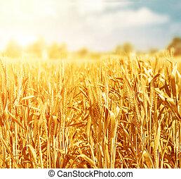 Wheat field in sunny day - Beautiful golden wheat field in...