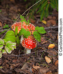fly agaric growing on the forest floor
