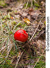 fly agaric gowing on the forest floor