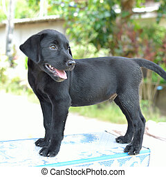 black dog - Single young black labrador.