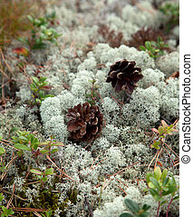 pine cones - small pine cones and reindeer lichen