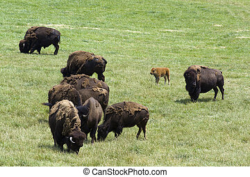 Bisons - Herd of Bisons on a Pasture