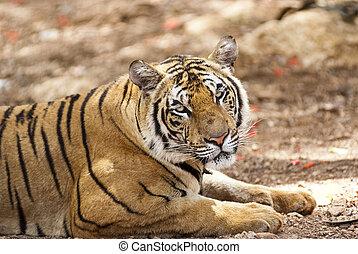 tigre, Mirar fijamente