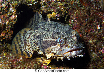 Oyster Toadfish  - An Oyster Toadfish waits in its lair