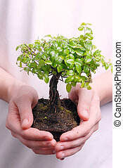 Hands holding a Bonsai tree high resolution image