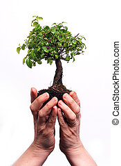 Hands holding a Bonsai tree isolated on a white background