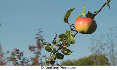 Apple on tree.