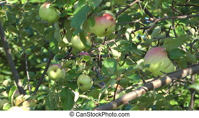 Apples - Close up shot of apples on the tree