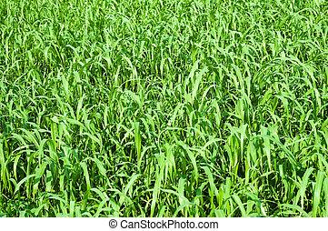 estati, erba, verde, campo