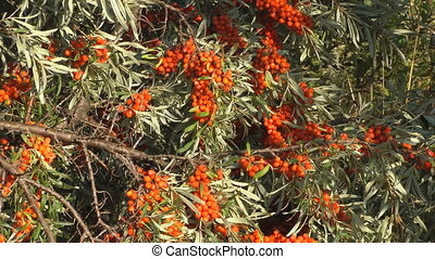 Sea-buckthorn.