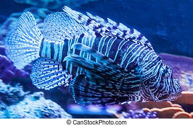 Pterois - Lionfish Pterois volitans a venoumous stinging...
