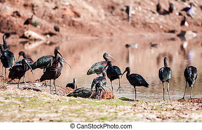 ibis - group of white-faced Ibis