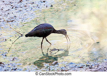 Ibis - Glossy Ibis standing on the shore
