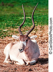 Oryx - Scimitar Horned Oryx in zoo