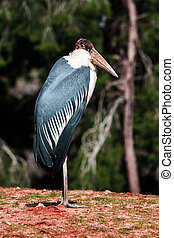 Marabou - Close up Marabou Stork