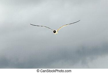 seagull flies under dark rain clouds - seagull flies under...