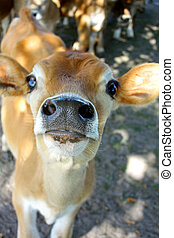 Baby Calf Nose - a brown, baby calf of a Jersey Cow, is...