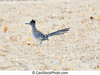 Roadrunner - Road Runner in dry field