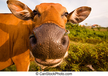 Cute cow with its tongue out