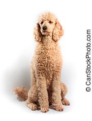 Standard Poodle - Beige Standard Poode posing on studio shot