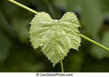 grape leaf - The green grape leaf