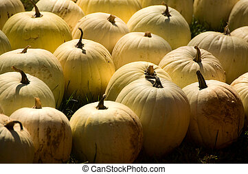 White pumpkins in a field in the late afternoon light.