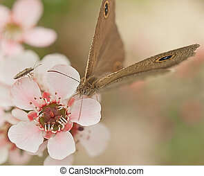 Australia native flower pink leptospernum and butterfly...