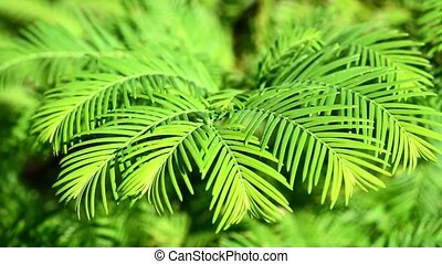 Redwood tree blosing in the wind cl - Leaves and pine...