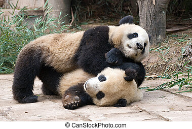 Playfighting Pandas - Two young pandas play fighting in the...