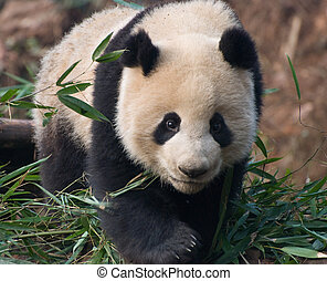 Prowling panda - A panda prowling in its enclosure at the...