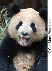 Laughing Panda - A panda laughing and happy after eating...