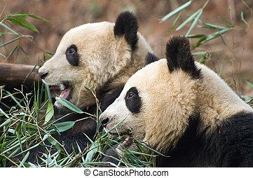 Pair of Pandas - Two pandas eating bamboo branches, taken at...