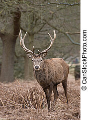 Richmond Park Stag - A magnificent stag in the bracken of...
