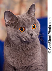 Family of grey brittish cats (mom-cat with her kitten)