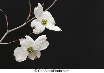 White Dogwood blossoms - A beautiful branch of delicate...