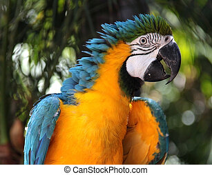 Blue and Yellow Macaw - Bird showing lots of happy and...