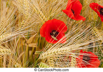 red poppies on the corn-field