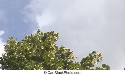 linden - Linden tree against the sky